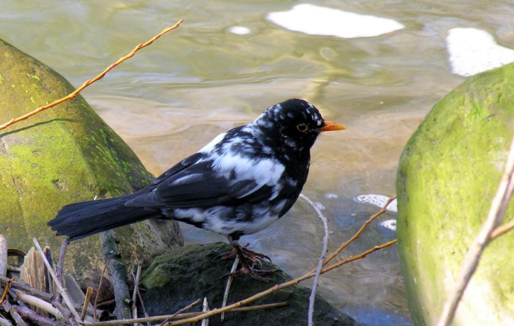 Leucisme bij vogels