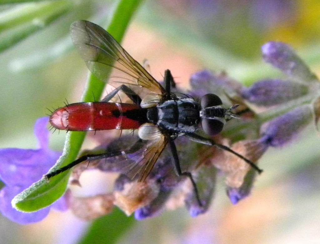 Een bloedrode vlieg