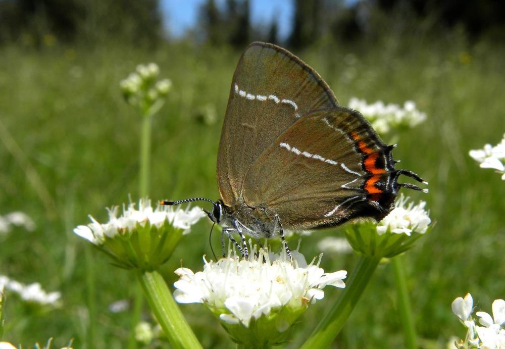Wildlife op Corfu 2;  ... Vlinders ...