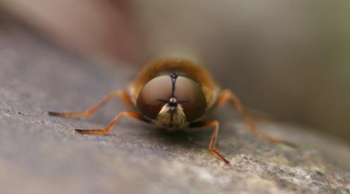 ogen van grote moeraswapenvlieg
