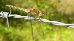 roodbruine heidelibel