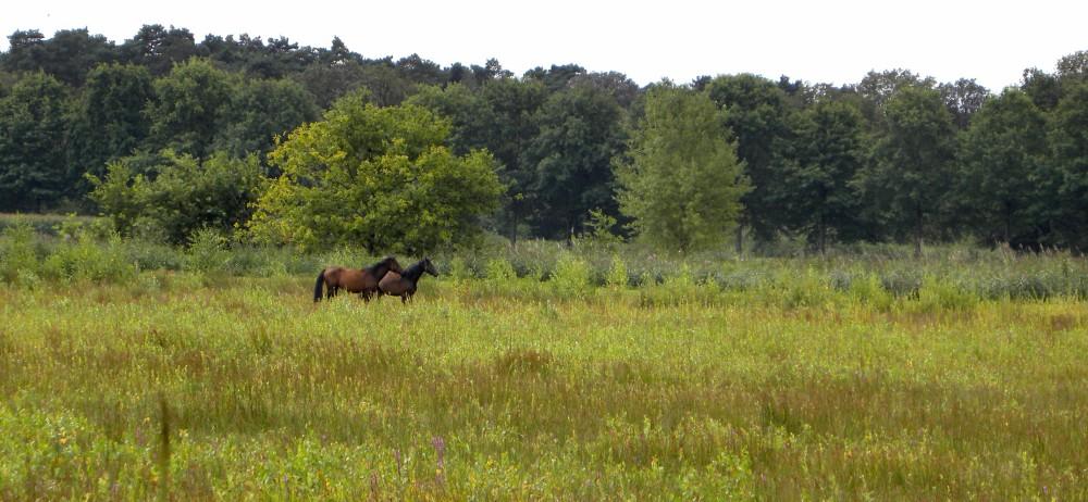 paarden in moeras