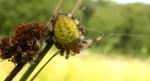 viervlekwielwebspin