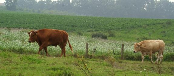 mee wandelende koeien