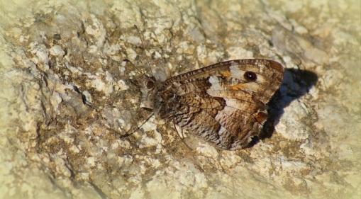 Zuidelijke Heivlinder (zeer zeldzaam)
