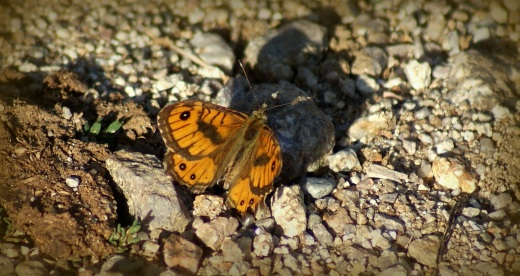 Vale Argusvlinder (zeldzaam)