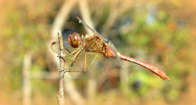 mannelijke Zwervende heidelibel
