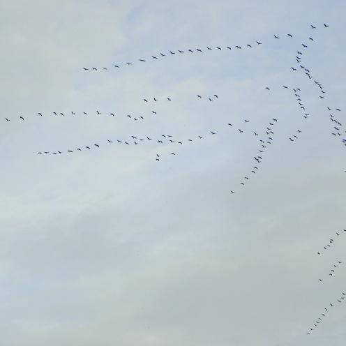 182 kraanvogels