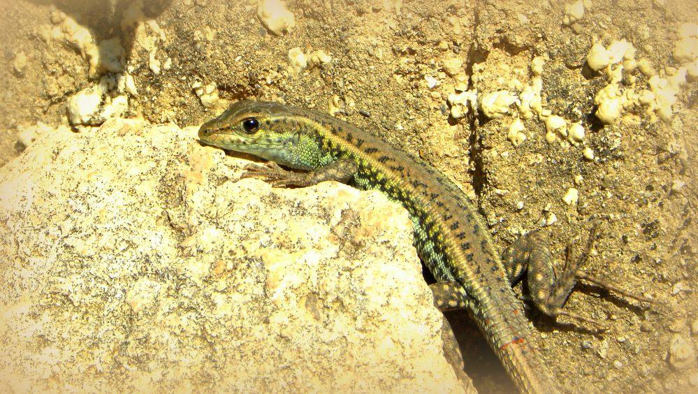 slangenooghagedis