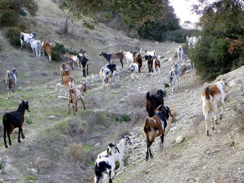 geiten oversteek
