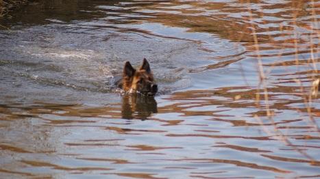 zwemmende hond