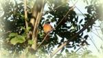 Gekraagde roodstaart man