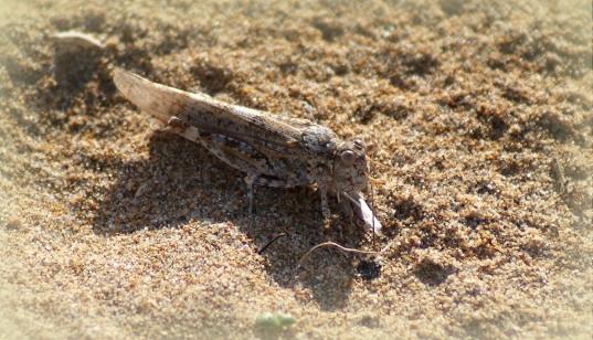 Sphingonotus rubescens