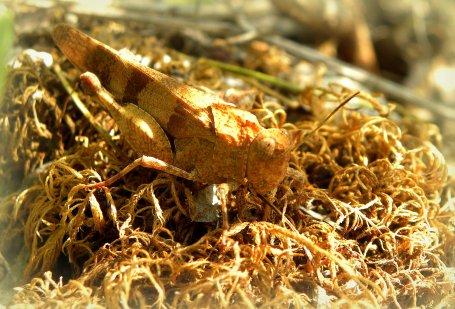 Oedipoda miniata