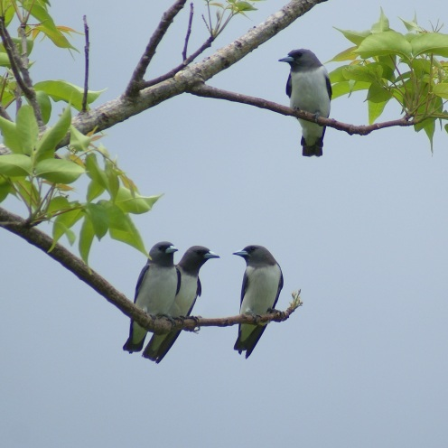 Witborstspitsvogels