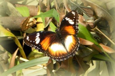 Common Eggfly (vrouw)