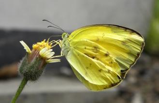 Grass Yellow spec.