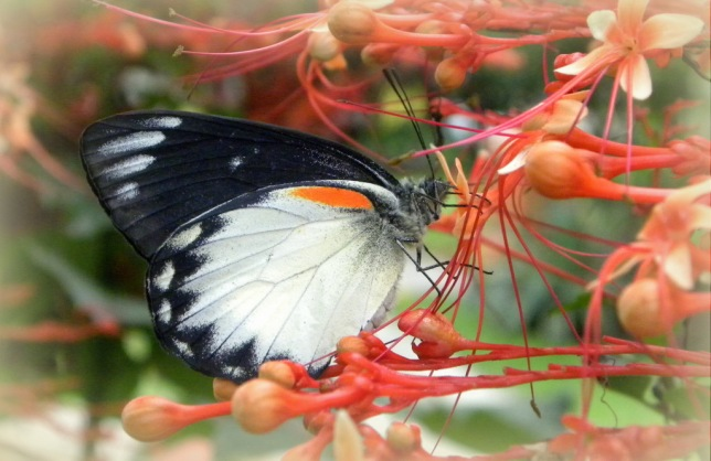 Redspot Jezebel ( Delias descombesi )