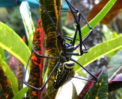Golden web spider (vrouw)