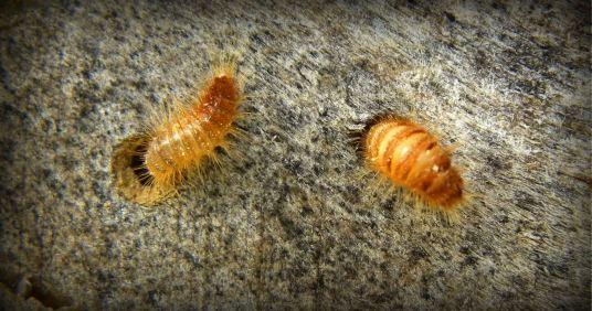 larven van Spekkever