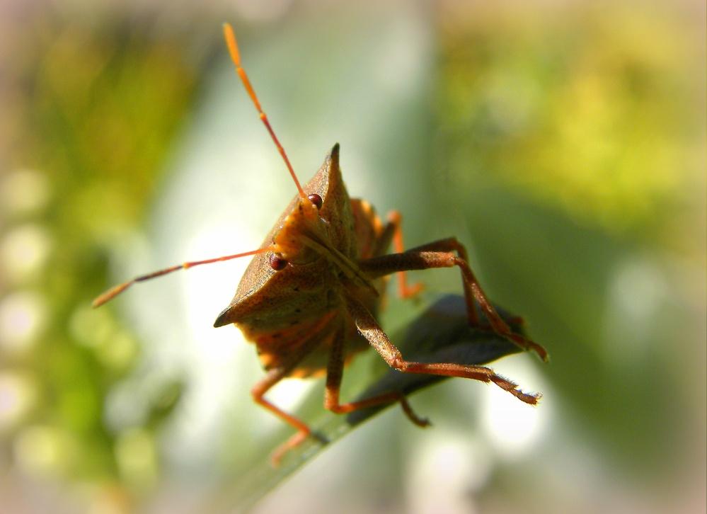 Snuitkeverschildwants