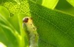 Aardbeibladwesp larve