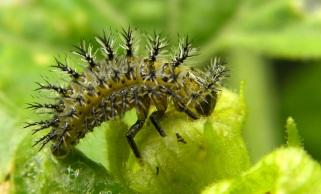 Heggenranklieveheersbeestje larve