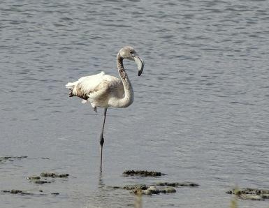 Juveniele Flamingo