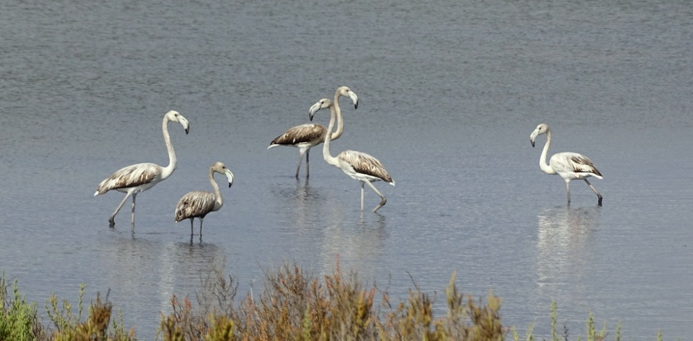 juveniele Flamingo's