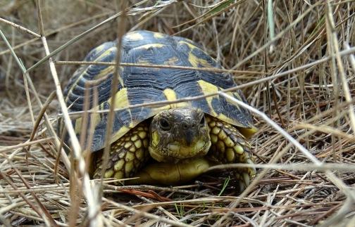 Westelijk Grieks landschildpad