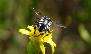 Thyreus histrionicus
