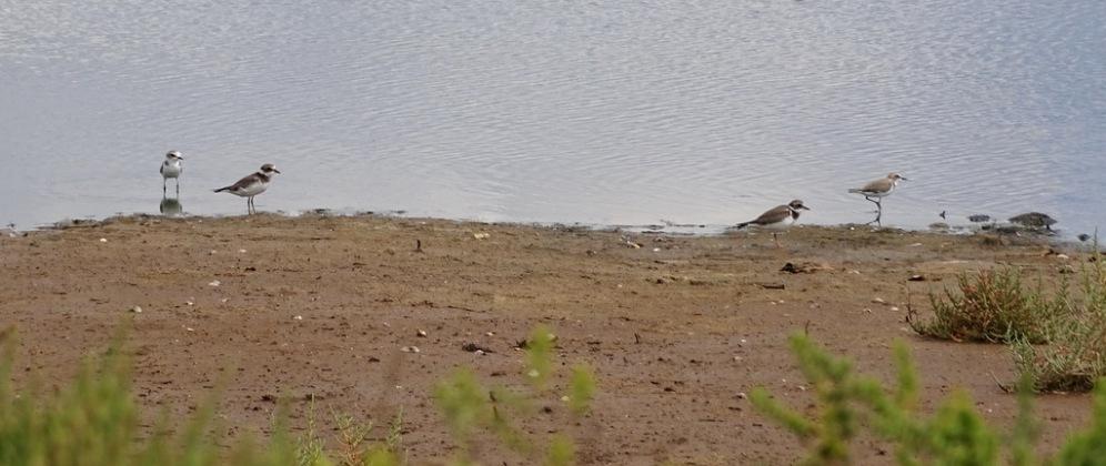 Bontbekplevier en Strandplevier