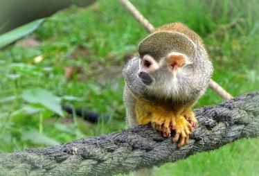 geelpoot aap