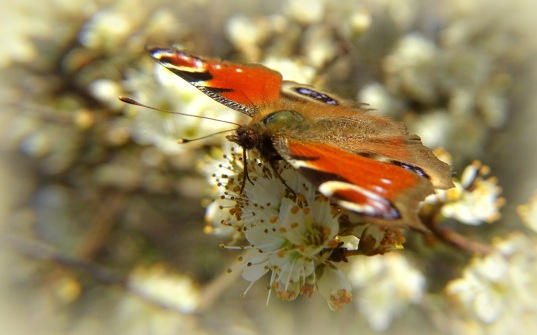 Dagpauwoog