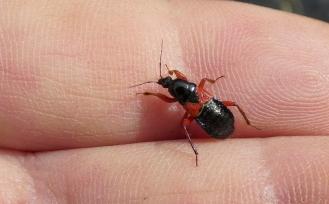 Rood-zwarte sikkelwants