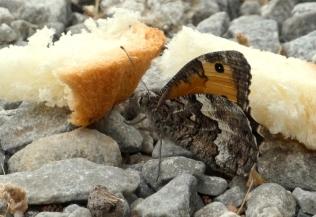 Kretaheivlinder (Hipparchia cretica)