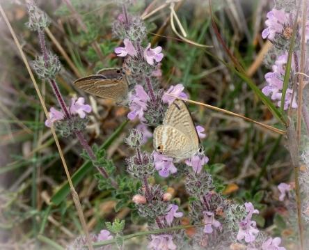 Tijgerblauwtjes (Lampides boeticus)