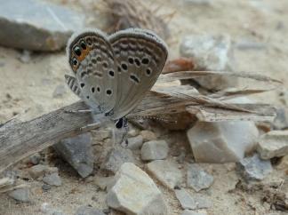Heliotroopblauwtje (Chilades trochylus)