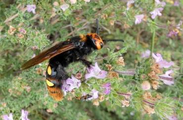 Megascolia maculata maculata