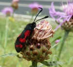 St.-Jansvlinder (Zygaena filipendulae)